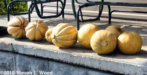 Cantaloupe and honeydew melons
