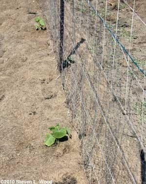 Cumcumber plants