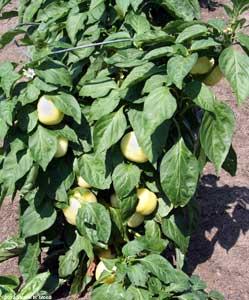 Alma paprika pepper plant