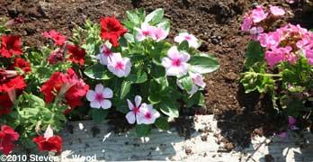 Petunia, vinca, geranium