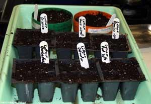 Lettuce and gloxinia starts