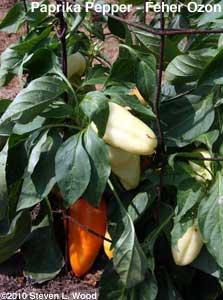 Paprika Pepper - Feher Ozon