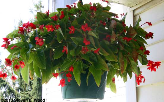 Wax begonia in full bloom