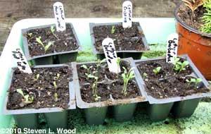 Fall lettuce starting