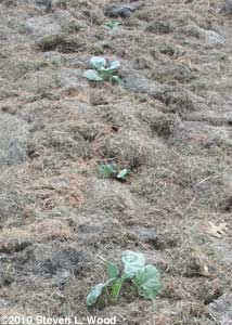 Mulched broccoli and cabbage