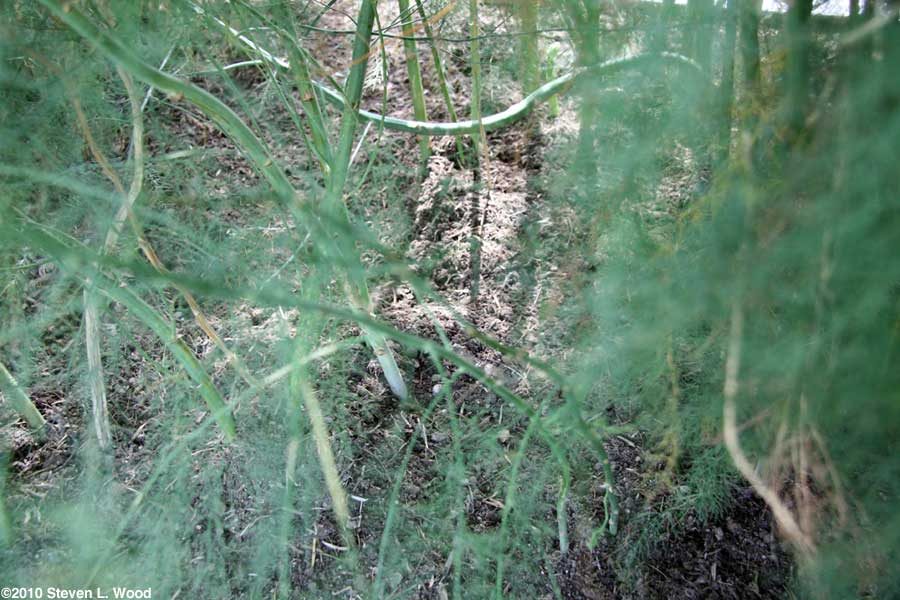 Asparagus stalks and foliage