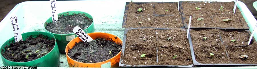 Seedling gloxinias