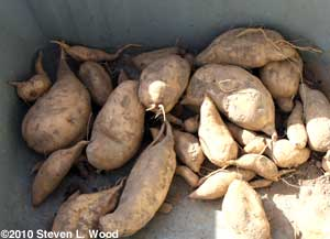 Nancy Hall variety sweet potatoes