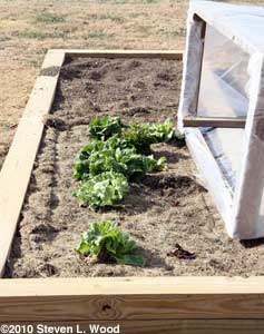 Lettuce and cold frame