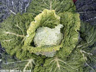 Alcosa savoy cabbage