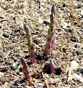 Asparagus up on March 23!