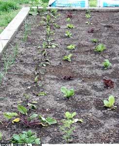 Onions, beets, & lettuce