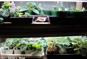 Gloxinias under plantlights