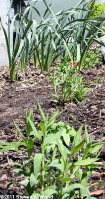 Dianthus & Daffodils