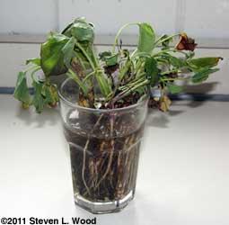 Sick sweet potato plants