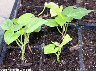My healthy sweet potato plants
