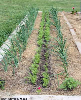 Softbed - onions, carrots, onions