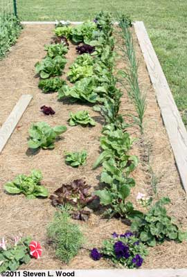 Softbed - Lettuce, beets, onions