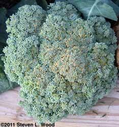 Overripe Belstar Broccoli