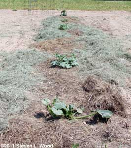 Mulched melon row