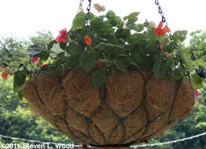 Hanging basket impatiens
