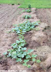 Rapidly spreading melon vines