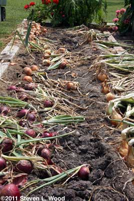 Onions drying down