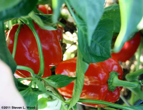 Earliest Red Sweet peppers