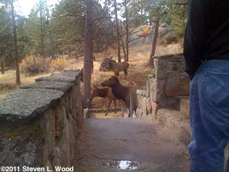 Elk at porch