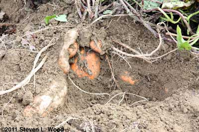 Sweet potatoes in ground