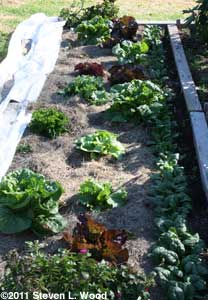Lettuce and spinach rows