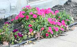 Dianthus and Petunia