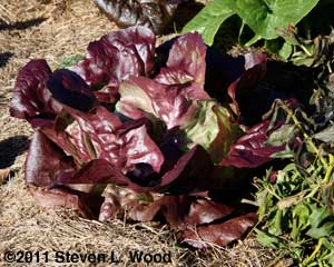 Skyphos lettuce