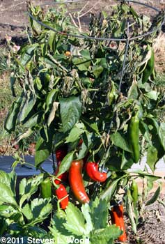 Paprika Supreme plant with frost damage