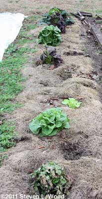 Single row of lettuce