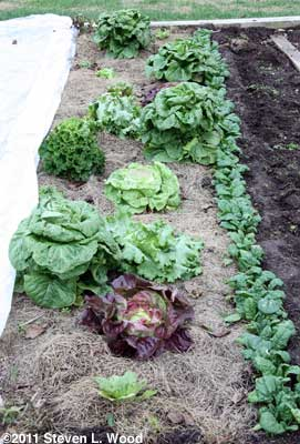 Main lettuce bed