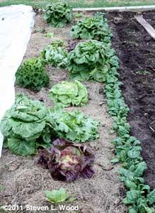 Lettuce 2011