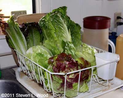 Lettuce drying