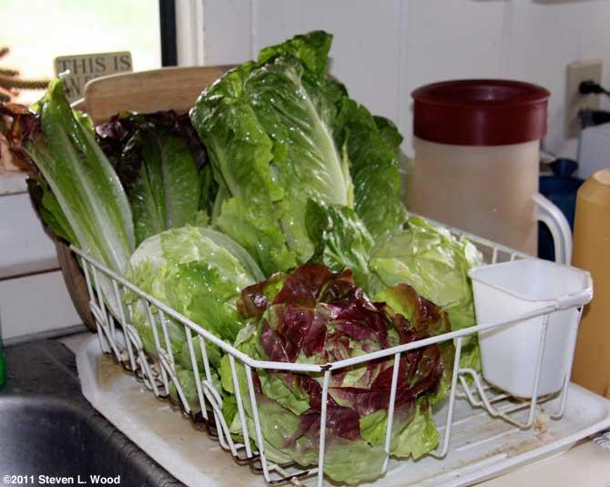 Lettuce - 2011