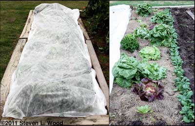 Lettuce covered and uncovered