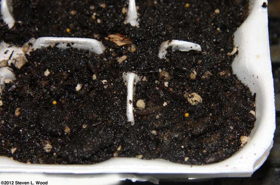 Pelleted petunia seed on soil