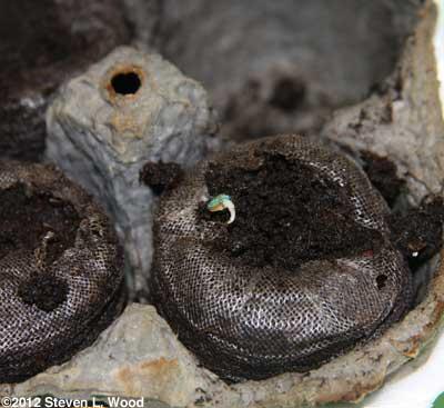 Geranium seed germinating