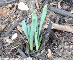 Doomed daffodils?
