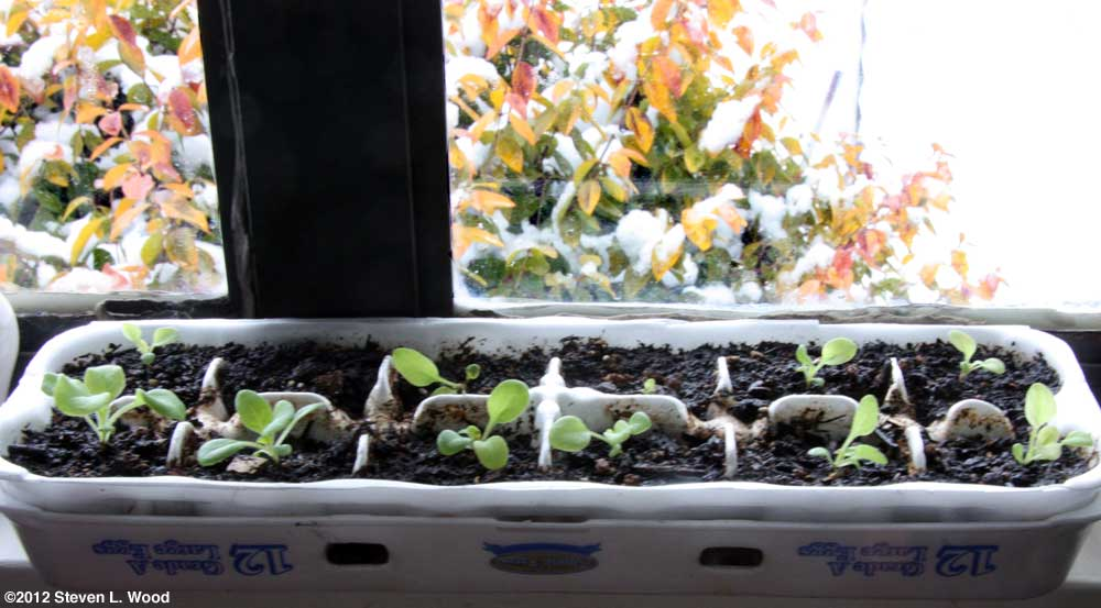 Petunias in egg carton on windowsill