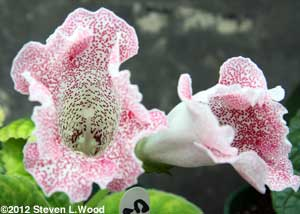 Spotted open pollinated gloxinia