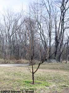 Pruned fruit tree
