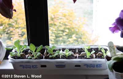 Petunias in egg cartons