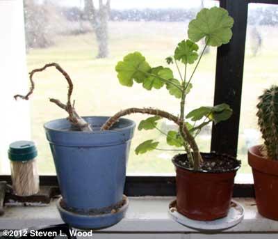 Geranium rooting