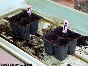 Planting thyme