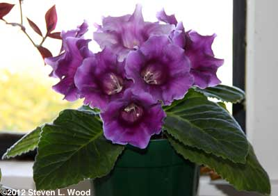 Purple gloxinia